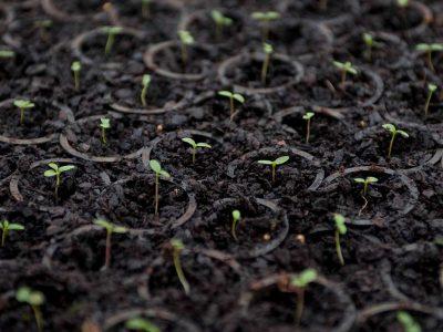 Cultivar plantas de yerba mate taragui