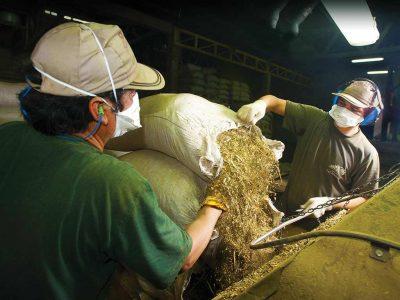 Molienda de la planta yerba mate taragui