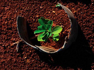 Plantar hojas de Yerba mate taragui