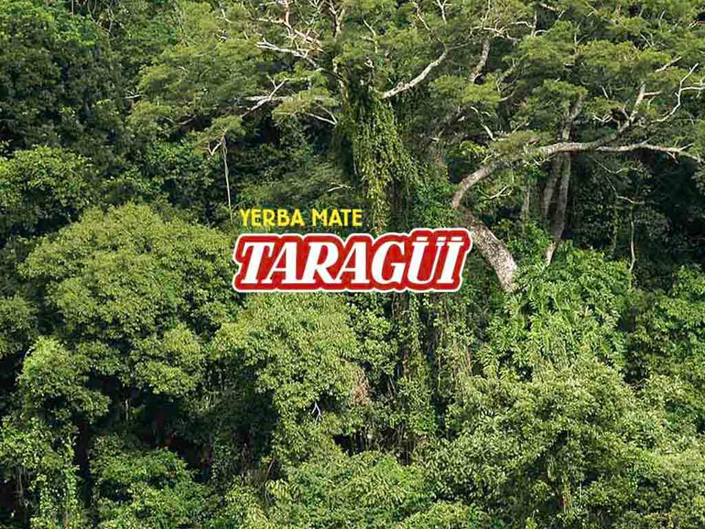 Yerba Mate Taragüi - Ilex Paraguariensis: todo sobre la planta de yerba mate
